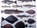 Seefische essbar